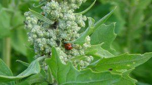 agriculture quinoa